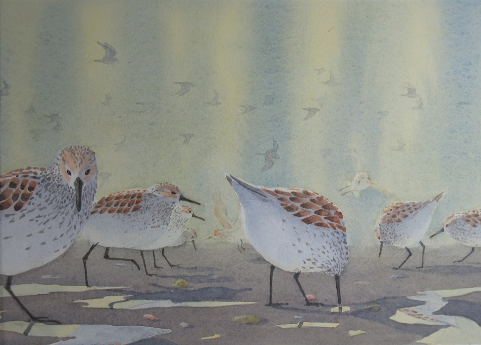 Westerns sandpipers (R)