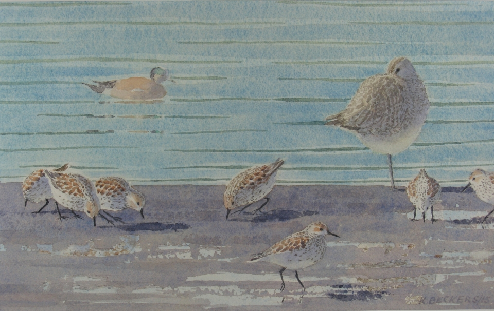 Western sandpipers and Whimbrels (R)