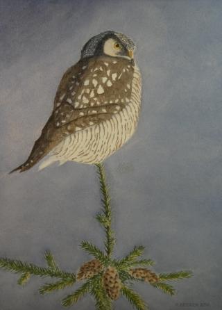 "Hawk Owl - 11.25"" x 8"" - $325"